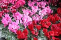 Flower carpet of red and pink cyclamen persicum plants in the garden shop Royalty Free Stock Photo