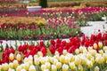 Flower carpet of tulips Royalty Free Stock Photo