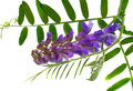 Flower cat pea vicia cracca with leaves isolated Royalty Free Stock Images