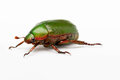 Flower chafer beetle crawling on white background Royalty Free Stock Image