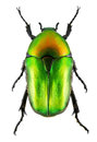 Flower chafer beetle on white Royalty Free Stock Photo