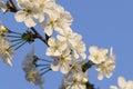 Flower of cherry Royalty Free Stock Photo