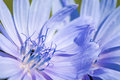 Flower of chicory. Royalty Free Stock Photo
