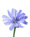 Flower of chicory closeup isolated on a white background Royalty Free Stock Photography