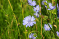 Flower chicory in the meadow lit by the morning sun Royalty Free Stock Image