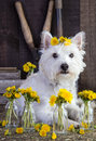 Flower child dog a small white with flowers in their hair Stock Photo