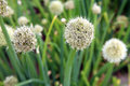 Flower chive white ball in home eco garden Royalty Free Stock Images