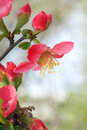 Flower the close up of of chaenomeles speciosa Royalty Free Stock Photos