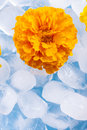 Flower close up photo of the small light yellow siting in the glass full off ice cubes Royalty Free Stock Photos