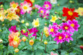 Flower colourfull can growth in chiangrai thailand Stock Photography