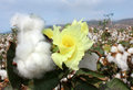 Flower of cotton Royalty Free Stock Photo