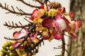 The flower of the couroupita guianensis cannonball tree Royalty Free Stock Photos