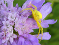 Flower Crab Spider Stock Photo