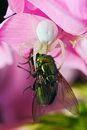 Flower (crab) spider eating green fly Royalty Free Stock Photography