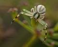 Flower crab spider thomisidae misumena vatia goldenrod on in macro Stock Photography