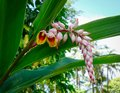 Flower of Curcuma longa at the botanic garden Royalty Free Stock Photo