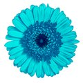 Flower  cyan  Gerbera isolated on white background. Close-up. Element of design Royalty Free Stock Photo