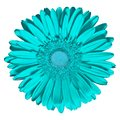 Flower cyan Gerbera isolated on white background. Close-up. Macro. Element of design Royalty Free Stock Photo