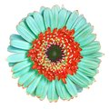 Flower  cyan red Gerbera isolated on white background. Close-up. Macro. Element of design Royalty Free Stock Photo