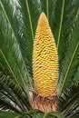 Flower of cycas Stock Images