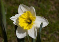 Flower daffodil Royalty Free Stock Photo
