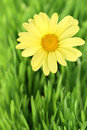 Flower daisy on a grass field Stock Image