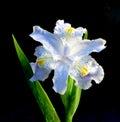 Flower-de-luce del resorte Foto de archivo libre de regalías