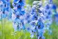 Flower Delphinium