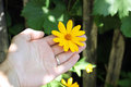 Flower dendrantema yellow in hand Royalty Free Stock Photo