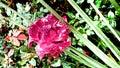 Kvetina rosa kvapky