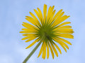 Flower doronicum of growing up to the sun Stock Photography