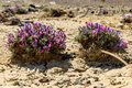 Flower Dracocephalum desert cracks ground Royalty Free Stock Photo
