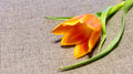 Flower on the fabric background orange tulip Royalty Free Stock Images
