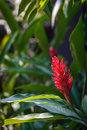 Flower fake red cone ginger with green garden background copy space Stock Photos