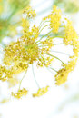 Flower of fennel on white blur detail the flowering branches a against a background portrait cut Royalty Free Stock Photos