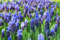 Flower field with blue grape hyacinths Royalty Free Stock Photo