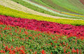 Flower field in various colors pattern shown as spring and growing season Royalty Free Stock Photos