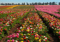 Flower fields Royalty Free Stock Photos
