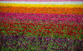 Flower Fields Royalty Free Stock Photo