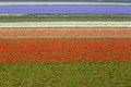 Flower fields tulip in the netherlands Stock Images