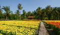 Flower fields with wooden house in Mekong Delta, Vietnam Royalty Free Stock Photo