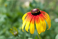 A flower the flowers in the photo belong to the compositae it long is very beautiful Royalty Free Stock Photo