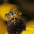 Flower fly Royalty Free Stock Images