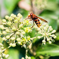 Flower fly volucella inanis on blossoms of ivy nectaring green plant in autumn day Royalty Free Stock Images