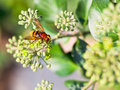 Flower fly volucella inanis on blossoms of ivy nectaring green plant in autumn day Stock Image