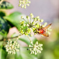 Flower fly volucella inanis on blossoms of ivy nectaring green plant in autumn day Stock Photos