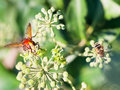 Flower fly volucella inanis on blossoms of ivy nectaring green plant in autumn day Royalty Free Stock Photo