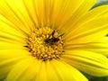 Flower Fly In Yellow Daisy.
