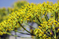 Flower of foeniculum vulgare is an evergreen perennial plant that to be one and a half meters high Royalty Free Stock Photos