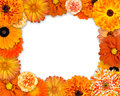 Flower frame orange flowers isolated white background dahlia daisy chrysanthemum pot marigold carnation Royalty Free Stock Image